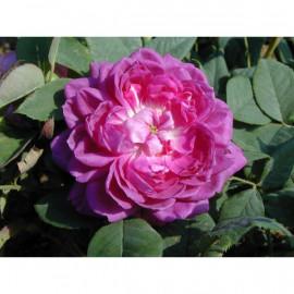 Rosier Reine des Violettes