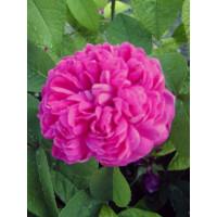 Rosier Rose de Rescht