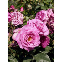 Rosier Violette parfumée®