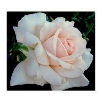 Rosier Sweet Love®