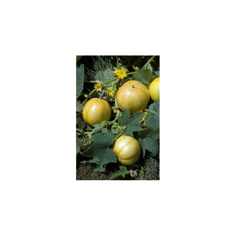 15 graines Concombre-Citron Concombre