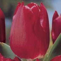Tulipe Merry Christmas