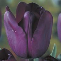 Tulipe Recreado