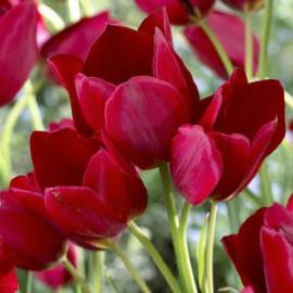 Tulipe Red Georgette