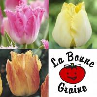 Assortiment de tulipes dentelles