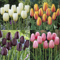 Assortiment de tulipes simples tardives