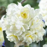 Narcisse Erlicheer