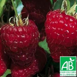 Plant de framboisier Zeva Bio