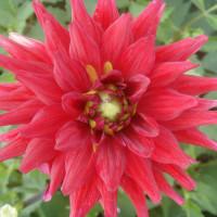 Dahlia Red Pygmy