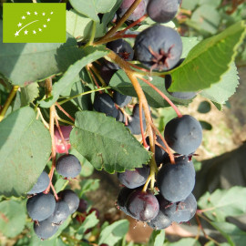 Amélanchier 'Alnifolia' Bio