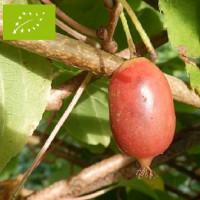 Kiwaï femelle à fruits rouges longs