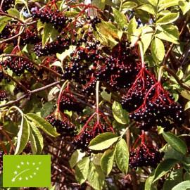Sureau à fruits noirs 'Haschberg' Bio