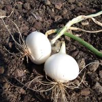 Oignon blanc de Vaugirard