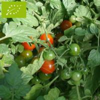 Tomate Sweet Baby Bio