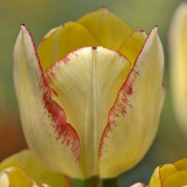Tulipe Lady Suzanne