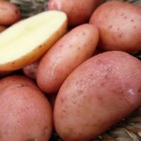 Pomme de terre Sarpo Mira Bio