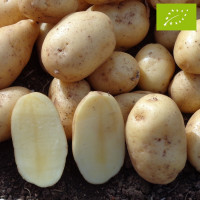 Pomme de terre Agila BIO