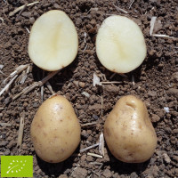 Pomme de terre Kerpondy BIO