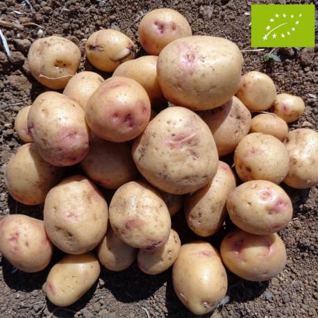 Pomme de terre Carolus BIO