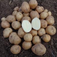 Pomme de terre Fin de Siècle (Up to Date)