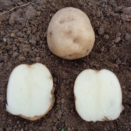 Pomme de terre Institut de Beauvais