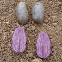 Pomme de terre Violetta
