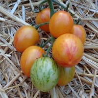 Tomate ARTISAN™ Golden Bumble Bee