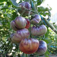 Tomate INDIGO™ Blue Beauty