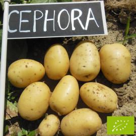 Pomme de terre Cephora BIO