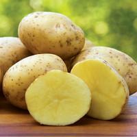 Pomme de terre Yukon Gold