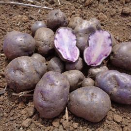 Pomme de terre Bleue d'Artois®