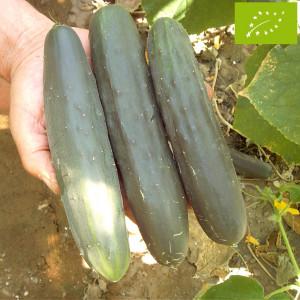 Concombre Marketmore Bio