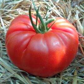 Tomate Brutus