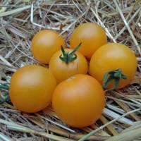 Tomate Honey Delight F1