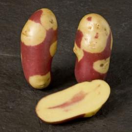Pomme de terre Mayan Twilight
