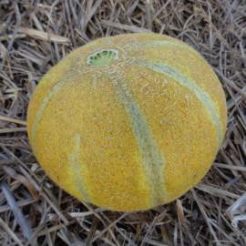 Melon Model