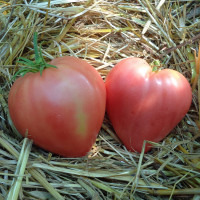 Tomate Herodes