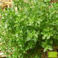 Basilic Fin vert Bio