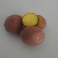 Pomme de terre Red Anna