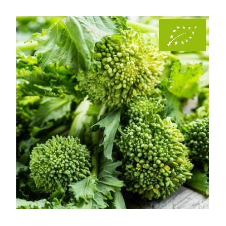 Chou brocoli-rave 60 jours - Cima di Rapa Bio
