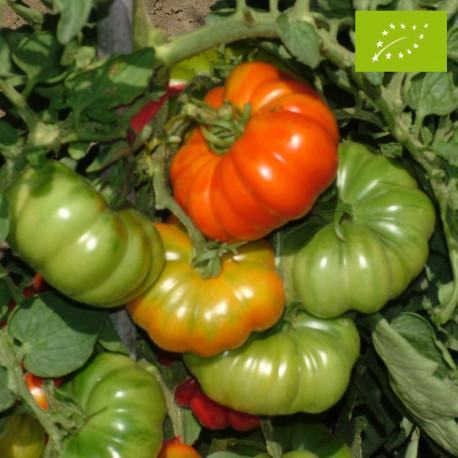 Tomate Costoluto Fiorentino Bio