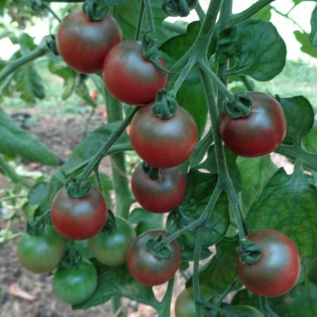 Tomate Rosella