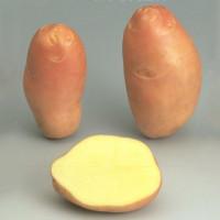 Pomme de terre Stemster