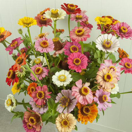 Zinnia 'Forecast Mix'