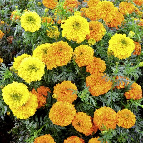 Tagetes (rose d'Inde) 'Kushi Mix'