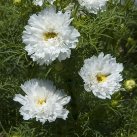 Cosmos 'Double Click Snow Puff'