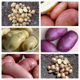 """Pack """"anti-mildiou"""" : les pommes de terre anti-mildiou !"""