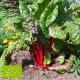 Poirée Rouge Rhubarb Chard Bio