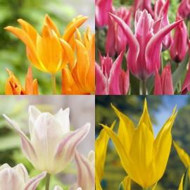 Assortiment de tulipes à fleur de lis
