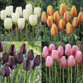 Assortiment de tulipes simples tardives